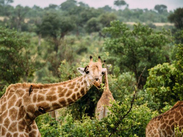 Africa Giraffe Print Storyett